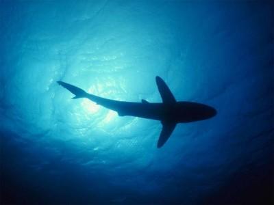 [Insolite] Internet menac� par les requins !