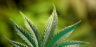cannabis-feuille_windows