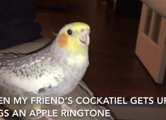 Perruche iPhone