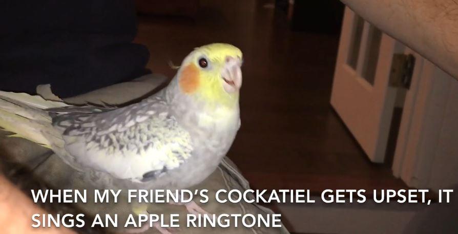 Perruche iPhone oiseau