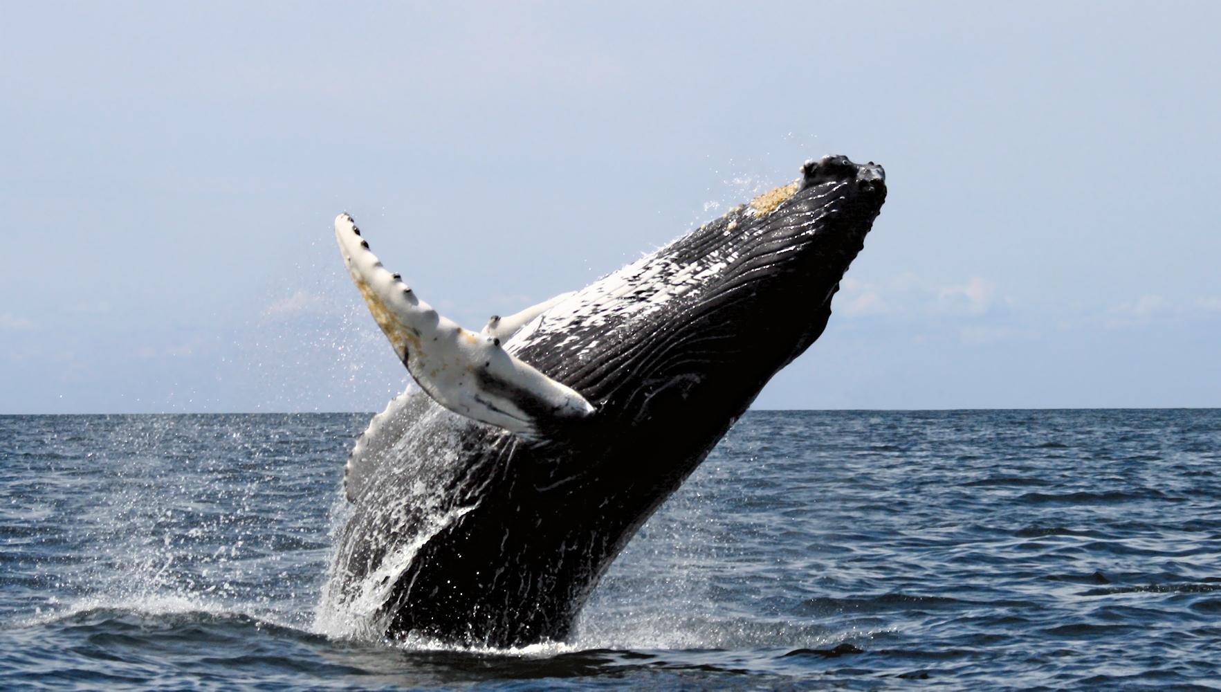 Google : une intelligence artificielle pour protéger les baleines