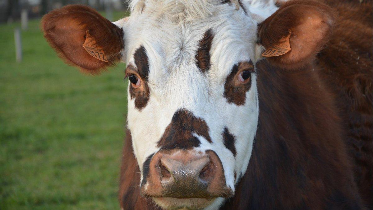 site de rencontre de vache